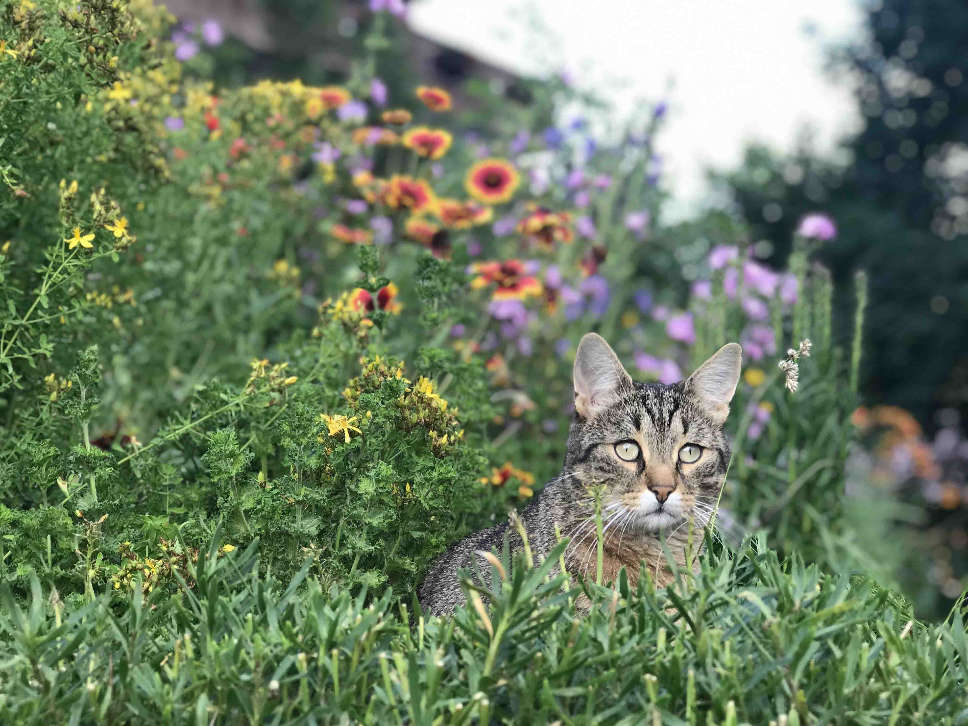 Balu the Cat