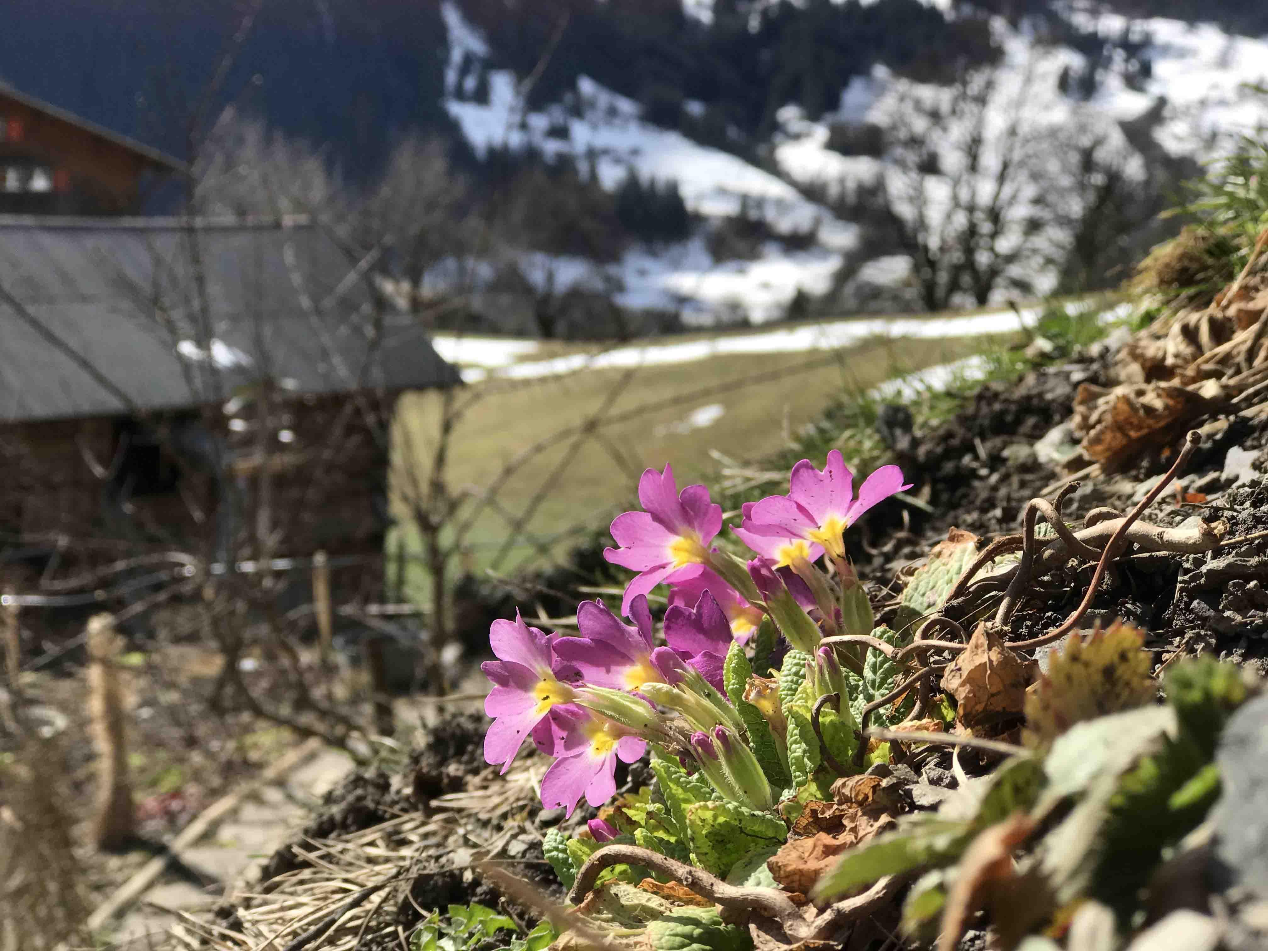 Ferienwohnung Chalet Anemone Grindelwald-Frühlingsblumen in Grindelwald